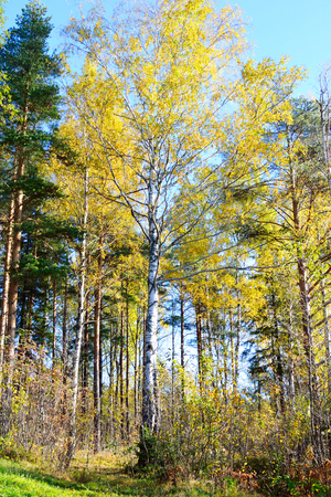 isthmus: Forest at autumn in Karelian Isthmus, Russia.