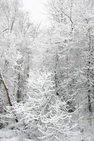 snowscene: Winter scene with a fresh cover of snow on branches.