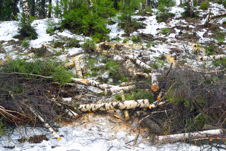 isthmus: Felled trees in the winter forest in Karelian isthmus, Russia. Stock Photo