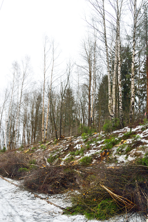 felled: Felled trees in the winter forest in Karelian isthmus, Russia. Stock Photo