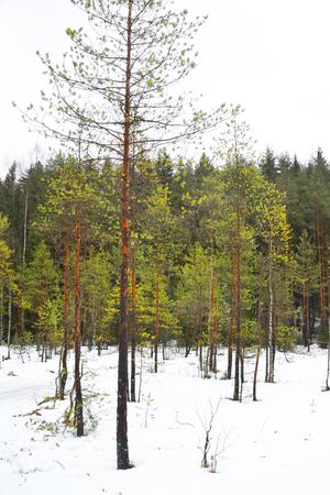 snowscene: Winter landscape in pine tree forest, Karelian isthmus, Russia.