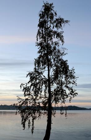 isthmus: Tree silhouette on the shore of Kavgolovskie Lake at sunrise, Karelian Isthmus, Russia.