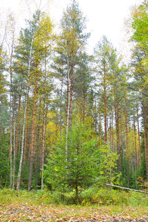 isthmus: Pine forest at autumn in Karelian Isthmus, Russia.