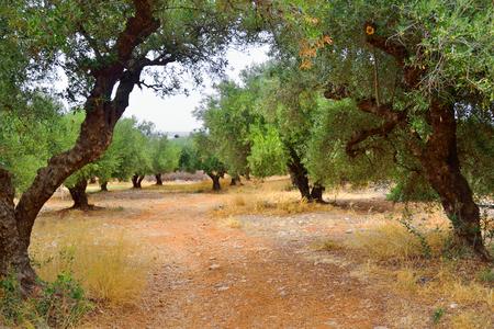 Zomer landschap met olijfgaard op Kreta, Griekenland.