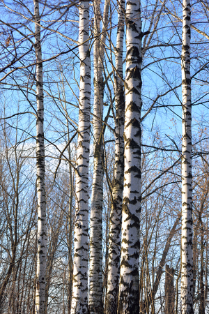 birch trees: The trunks of the birch trees at sunny early spring day. Stock Photo