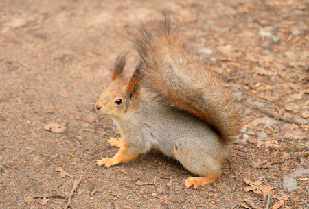 fluffy tuft: Red squirrel in the natural environment.