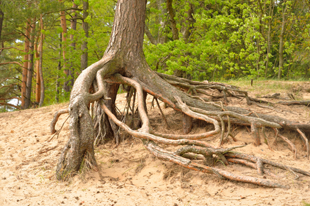 gnarled: Gnarled roots of pine tree in forest.
