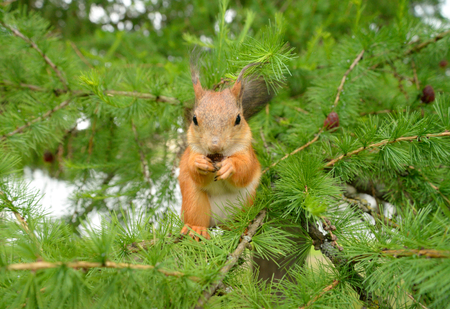 fluffy tuft: Red squirrel in the natural environment on the background of fir branches. Stock Photo