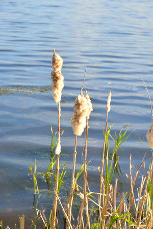 cattails: Cattails growing at the edge of a pond. Stock Photo