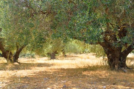 Zomer landschap met olijfgaard in Kreta, Griekenland.