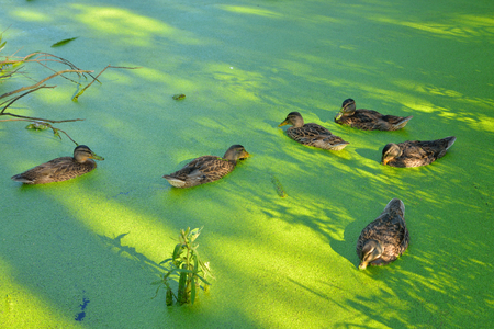 morass: Group of swiming ducks in green morass. Stock Photo
