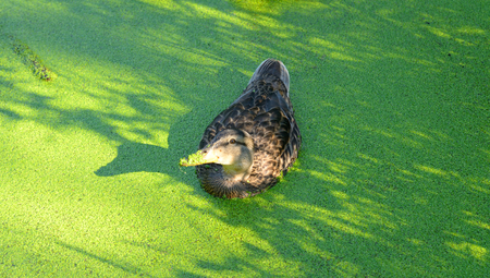 morass: Swiming duck in green morass at summer. Stock Photo