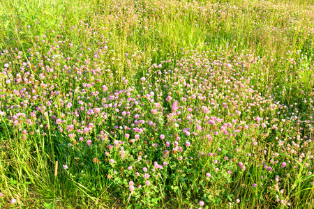 trifolium: Red clover, Latin Trifolium pratense. A plant of the genus Clover , the legume family, subfamily butterfly. Stock Photo