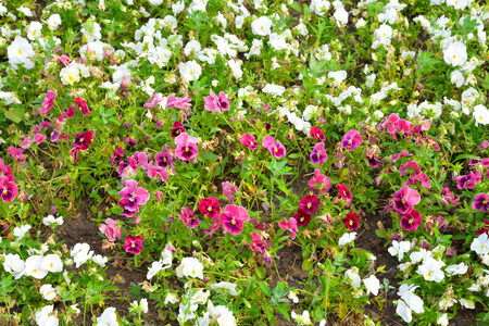 plants species: Aiuola con fiori Viola - un genere di piante della famiglia Viola. Ci sono circa cinquecento specie che vivono principalmente nell'emisfero settentrionale Archivio Fotografico