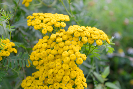 asteraceae: Tansy flower closeup on blurred background. Tansy, Latin Tanacetum - Genus of perennial herbaceous plants and shrubs of the family Asteraceae.
