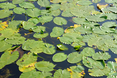 potbelly: Yellow water-lily, lat Nuphar lutea - a perennial aquatic plant, Potbelly species of the genus of the family Nymphaeaceae. Stock Photo