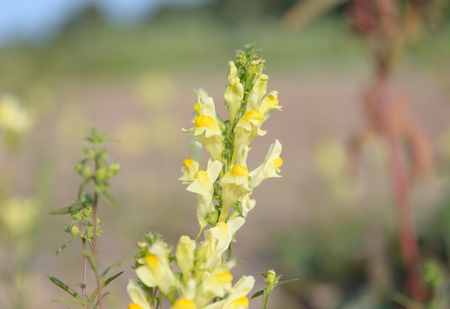 common snapdragon: Common toadflax, Lat. Linaria vulgaris on blurred background. Herbaceous perennial plant species in the genus toadflax.