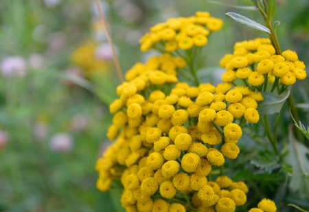 herbaceous: Tansy flower closeup on blurred background. Tansy, Latin Tanacetum - Genus of perennial herbaceous plants and shrubs of the family Asteraceae.
