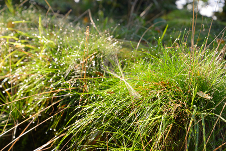 soggy: Close up of fresh thick grass with water drops in the early morning. Stock Photo