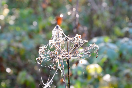 herbage: Close up of dry plant with water drops in the early morning.