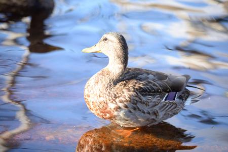 mallard duck: Single female Mallard Duck close up.