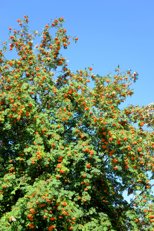 sorbus: Rowan tree with red berries at summy august day. Stock Photo