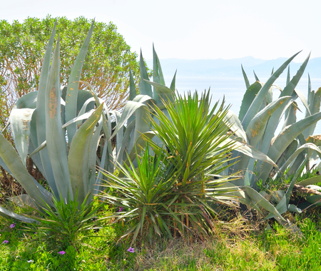 View of cactus plant on Crete island, Greece. Stock Photo