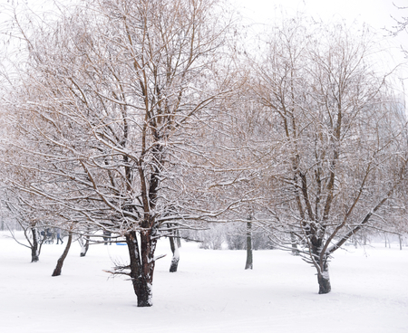 frosty morning: Winter scene with a fresh cover of snow on branches.