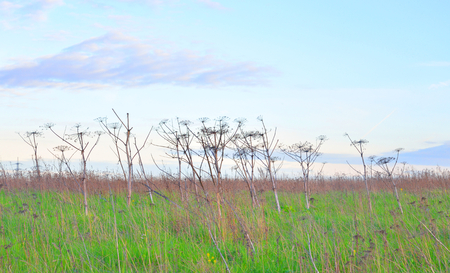 dry cow: Summer landscape with dry cow parsnip at evening.