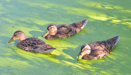 Group of swiming ducks in green morass. Stock Photo