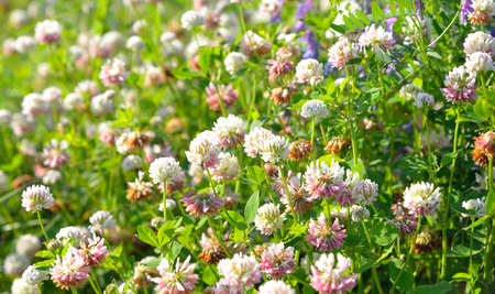 White clover, Latin Trifolium pratense. A plant of the genus Clover , the legume family, subfamily butterfly.