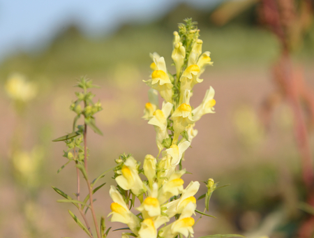 common snapdragon: Common toadflax on blur background. Linaria vulgaris.