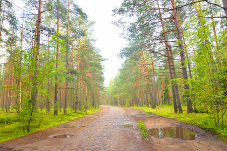 Old cobblestone road in pine forest at summer in Leningrad region, Russia.