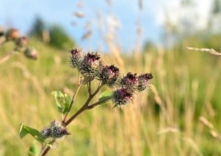Barb burdock closeup on blurred background. Burdock, latin Arctium - genus of biennial plants of the family Asteraceae or Compositae.