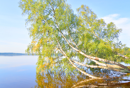 Tilted birch over lake water in Karelian Isthmus, Russia.
