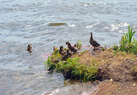 Duck with small ducklings on coast of lake. Stock Photo