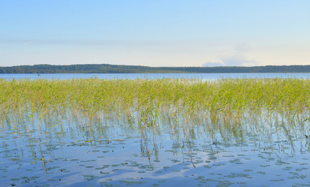 View of the lake overgrown sedge in the Karelian Isthmus, Russia.