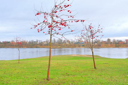 Rowanberry tree with red berries in autumn park.