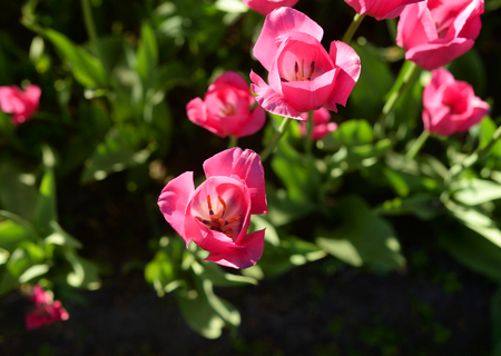 The photo of several blossoming pink tulips closeup.