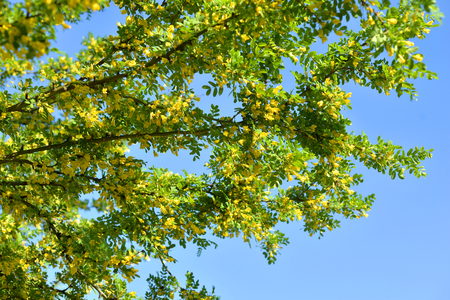 Caragana tree with yellow flowers at sunny spring day.