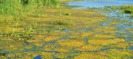 Aquatic plants in swamp at sunny summer day.