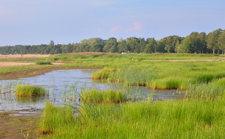 Swamp with thickets of sedge at sunny summer day.