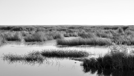 Shore of the Gulf of Finland of Baltic Sea with sedge thickets, Russia. Black and white. Stock Photo