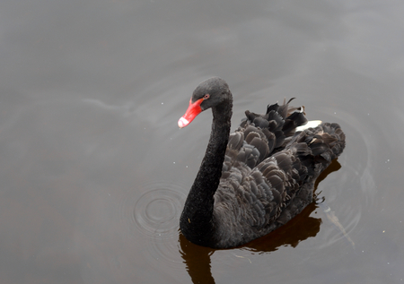 Black swan with red beak swimming in water.