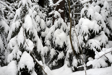 Spruce trees covered with snow in Karelian isthmus, Russia. Standard-Bild