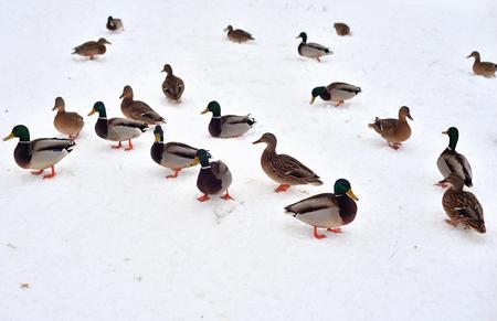Wild ducks on snow at cloud day.