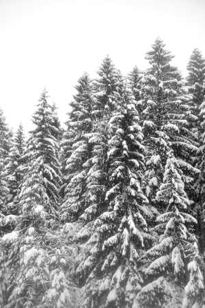Spruce trees covered with snow in Karelian isthmus, Russia. Imagens