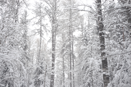 Deciduous forest at winter in Karelian isthmus, Russia. Stock Photo