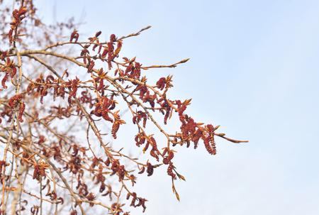 Pendientes primer plano de álamo en flor en el día de las nubes. Foto de archivo