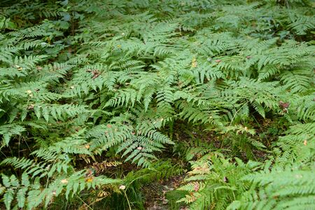 Wild fern closeup in summer forest by day. Stockfoto